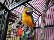 Lдома,  поднятые и зарегистрирован синих и золотых попугаи ара для прод