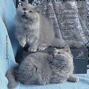 Длинношерстные ГОЛУБЫЕ британские котята из питомника.